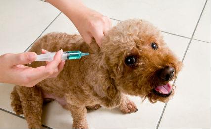 Köpeklerde Uygulanması Gereken Aşılar