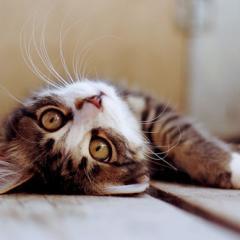 Ölü Taklidi Yapan Kurnaz Kedi