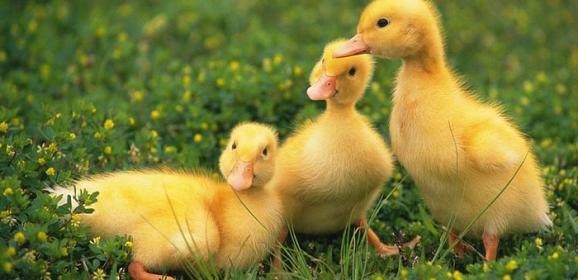 Sahibini Annesi Sanan Sevimli Ördek