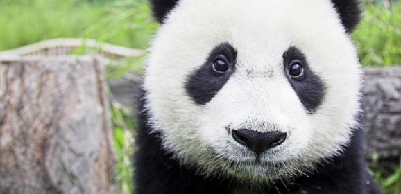 Pandaların Beslenme Saati
