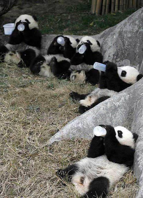 pandalarin-beslenmesi