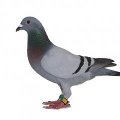 Posta Güvercinleri