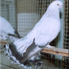 Selçuklu Güvercini