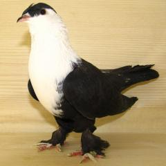 Şıhşelli Güvercin