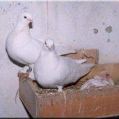 Taklambaç Güvercin