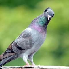 Trabzon Güvercini