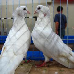 Trakya Güvercini