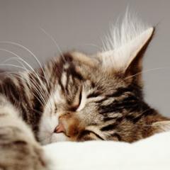 Köpeklerin Yataklarını Çalan Kediler