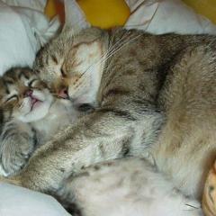 Rüya Gören Yavru Kedi