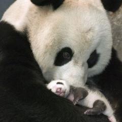 Yavrusundan Korkan Panda