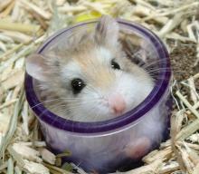 Hamster-02