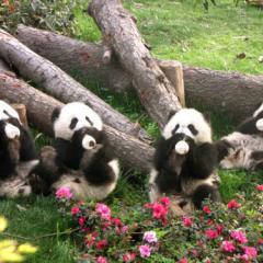Minik Pandaların Beslenme Saati