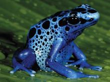 dart-poison-frog