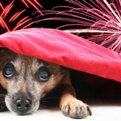 Gök Gürültüsü ve Havai Fişekten Korkan Köpekler
