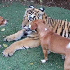 Kaplan ve Köpeklerin Eğlenceli Oyunu
