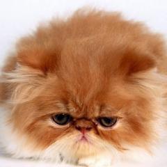 Kedilerde Bağırsak Sorunları