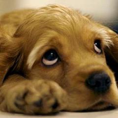 Köpeklerde Böbrek Yetmezliği