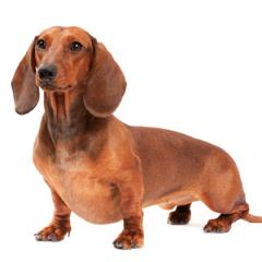 Köpeklerde Deri Sertleşmesi