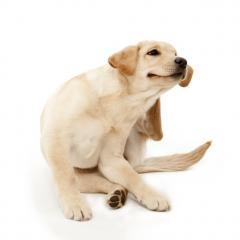 Köpeklerde Egzama