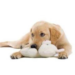 Dişi Köpeklerde Yalancı Gebelik