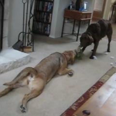 Uyuşuk Köpekler