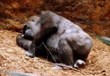 uyuyan-goril