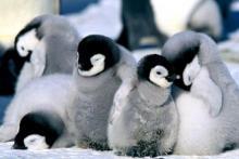 uyuyan-penguen