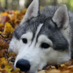 Yapraklarla Oynayan Köpek