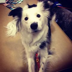 Ev İşlerinde Yardımcı Köpek Paige