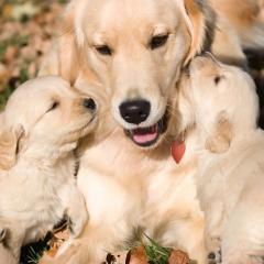 Köpeklerde Çiftleştirme