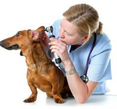 Köpeklerde Kulak Hastalıklarının Nedenleri