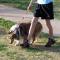 Köpeklerde Yürüyüşe Hakim Olma