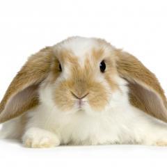 Tavşanlarda Görülen Hastalıklar ve Uygulanan Aşılar