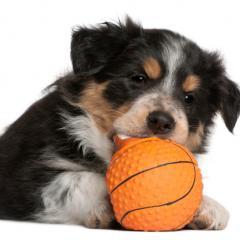 Yavru Köpekte Oyuncak Seçimi